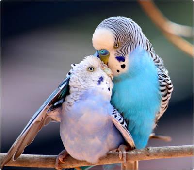 Budgie Lovers 2 by SilkenWinds