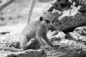 Puppy Meerkat
