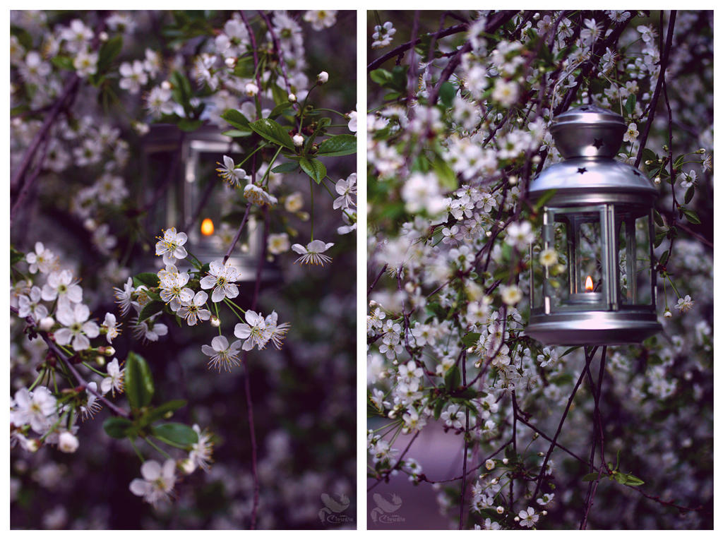 Cherry trees and lantern by Mrs-Cloudia-S