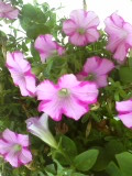 pink flowers by wittlecabbage