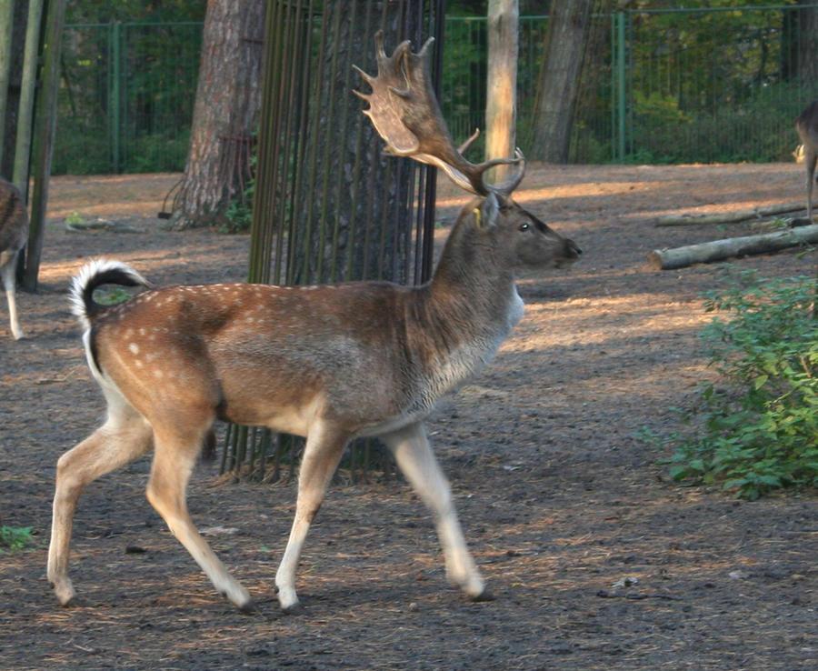 Deer1 by Susannehs