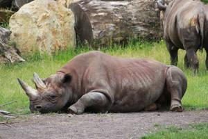 rhino by Susannehs