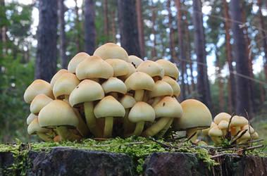 mushrooms by Susannehs