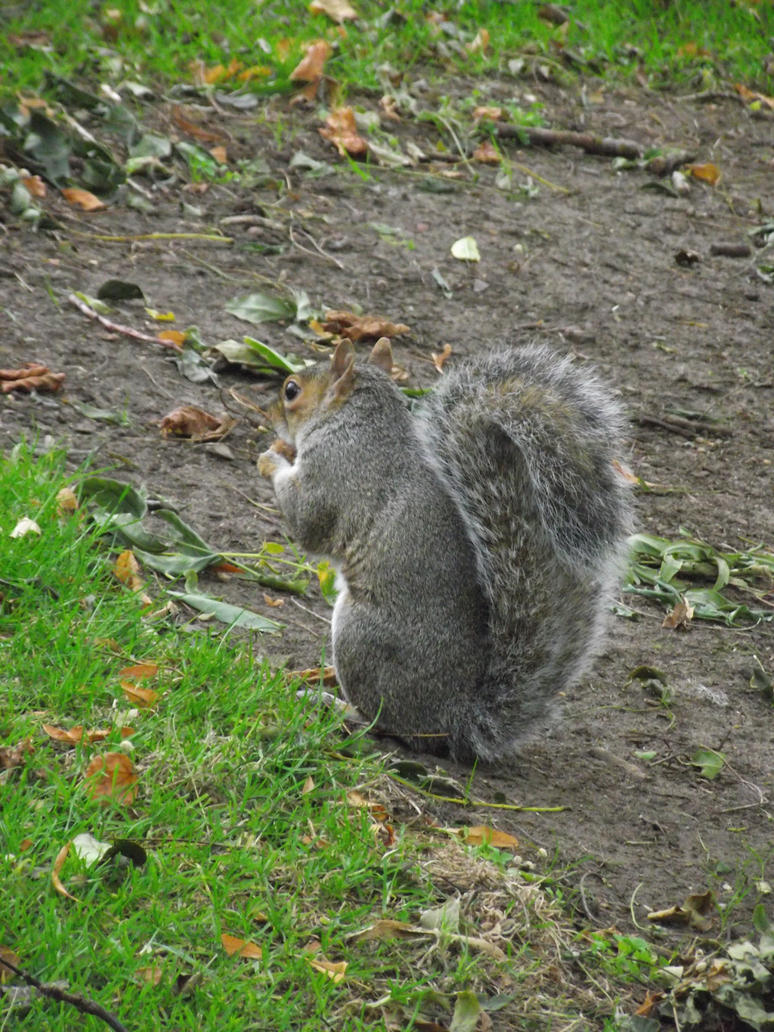 Typical Squirrel 75 Back View By Hybridcja On Deviantart