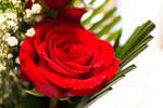 Red Rose (2)