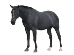 Black Horse Pre-cut