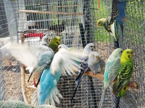 budgies in aviary