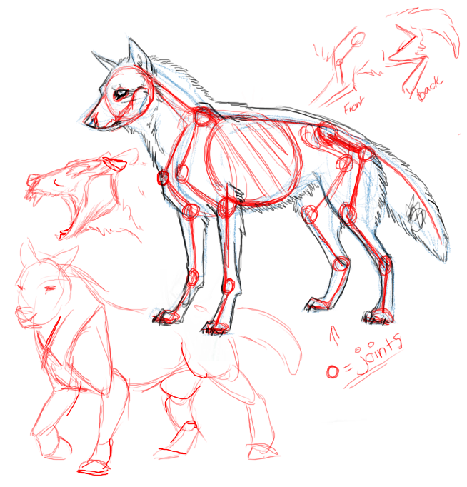 Rough Wolf Anatomy by