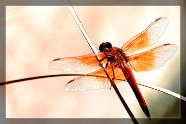 Dragonfly by Delusionist