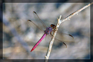 Dragonfly - Purple by Delusionist