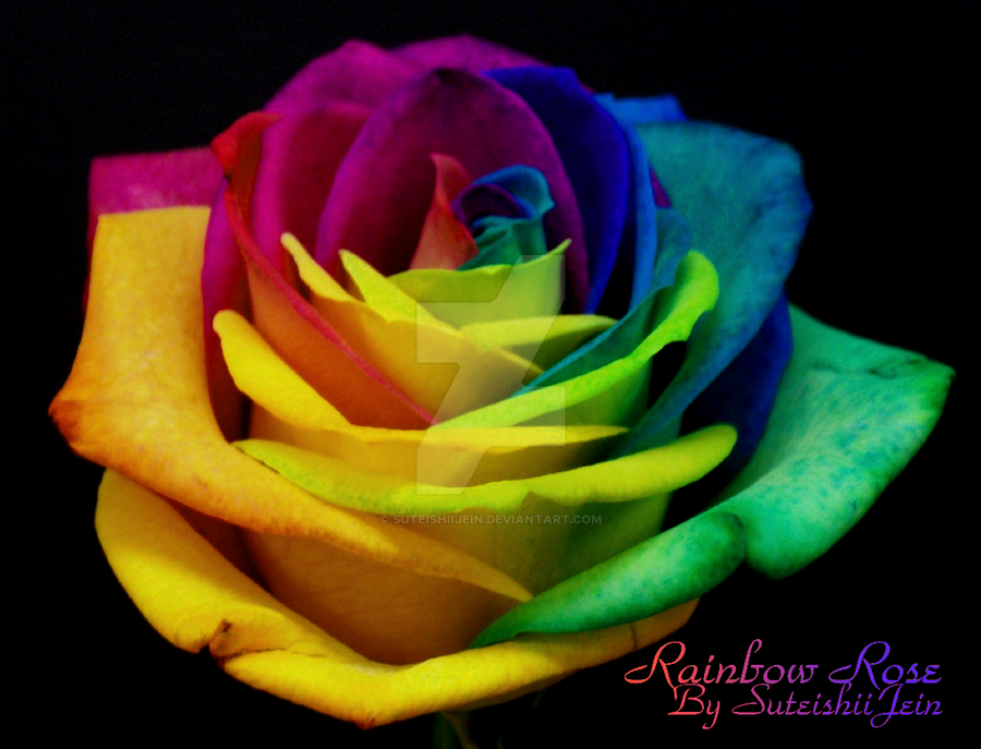 Rainbow rose by suteishiijein on deviantart for Where can i buy rainbow roses