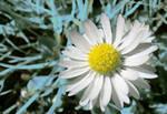 daisy experiment I