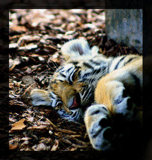 Sleeping Tiger by Animal-Lovers-Unite