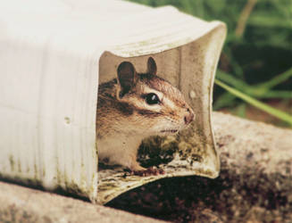 Chipmunk 2 by PointVision