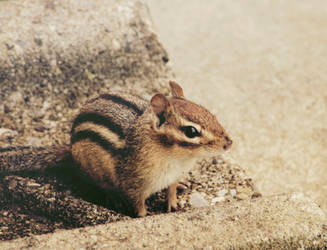 Chipmunk 3 by PointVision