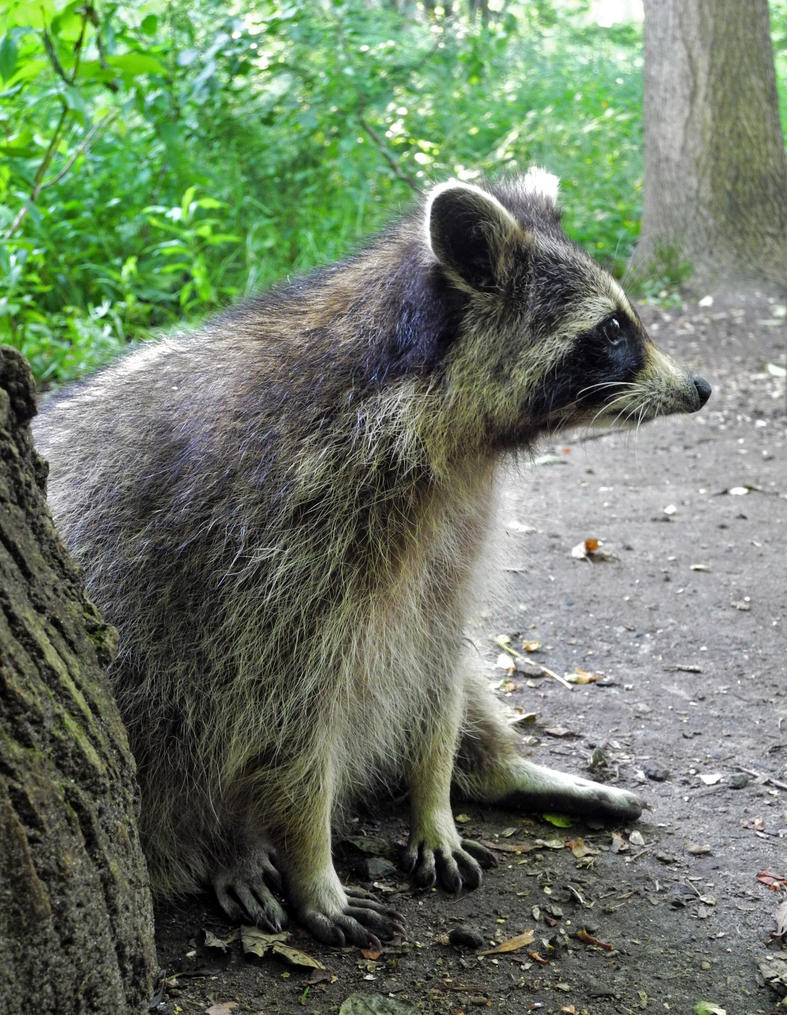 Racoon by Small-Jessamine