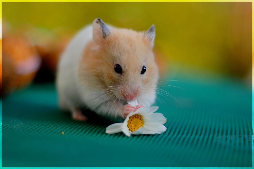 Kizu - young golden hamster I