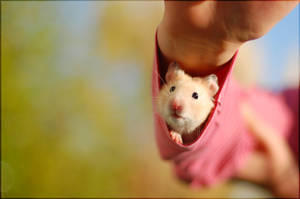 Kizu - Young golden hamster II by whensummerends