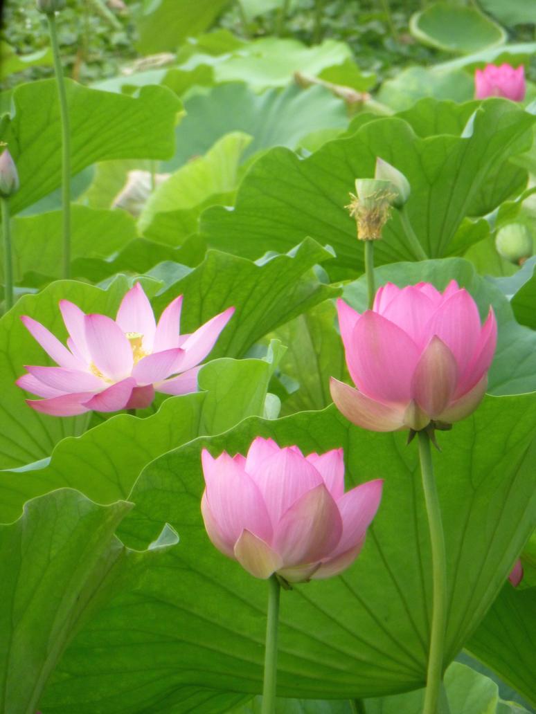 Pink Lotuses by vogeljz