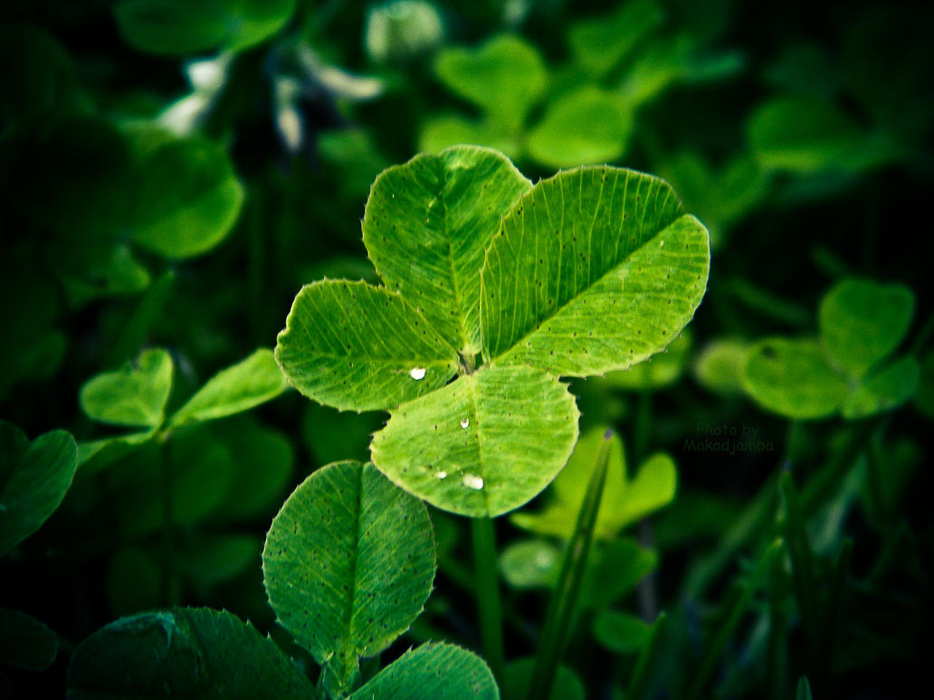 A four-leaf clovers by Makadjamba
