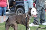 Happy Pitbull puppy
