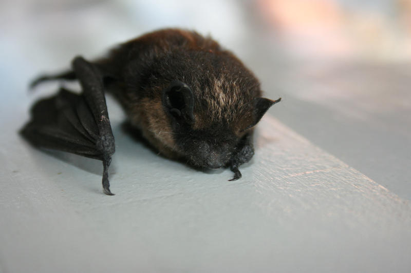 A bat by Azuna-Kun