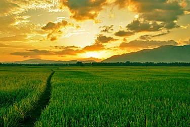 Sunset at Paddy Field