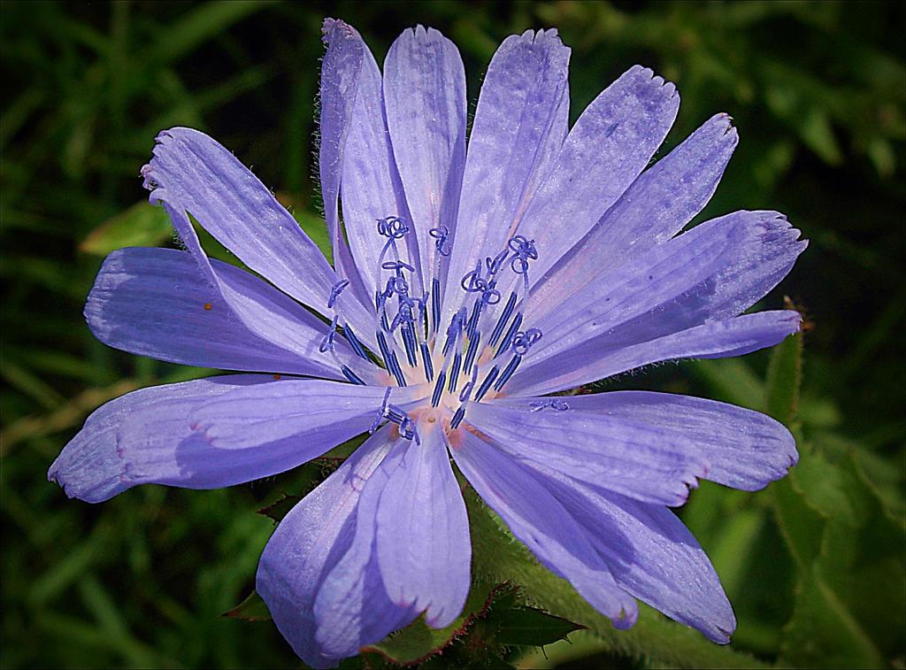 chicory wallpaper flower - photo #22