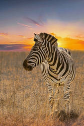 Zebra by LinetteSimoes
