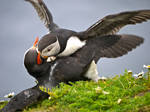 Puffin Fight