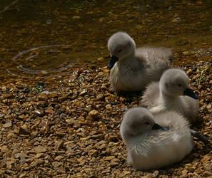 Swan babies or Cygnets by xIIStrawberriesIIx