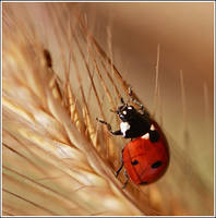 A young blue-eyed ladybird by Viand