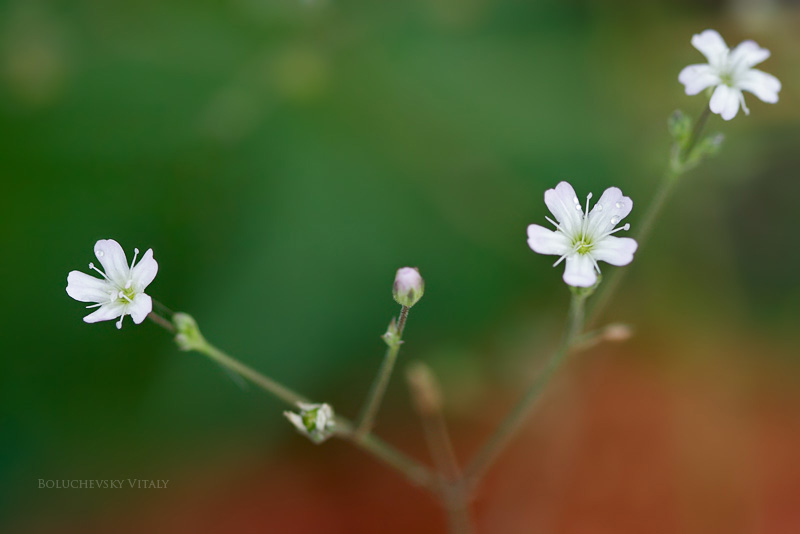 Very small white flowers by viand on deviantart very small white flowers by viand mightylinksfo