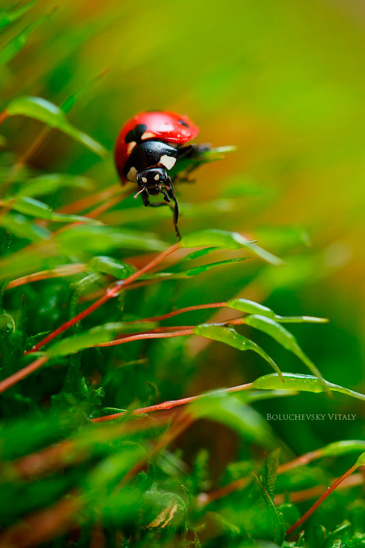 Ladybird. Through moss wood by Viand