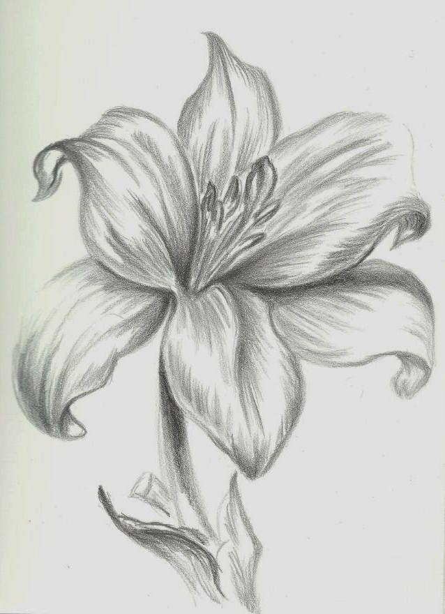 lily pencil drawing pencil drawing of lilies lily pencil drawingsLily Flower Drawings In Pencil