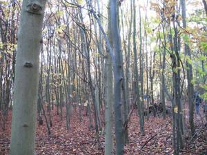 Wandlebury woods