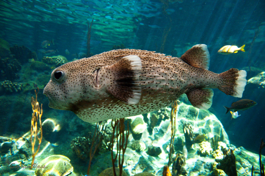 Puffer fish by bttrflykisses on deviantart for Puffer fish florida