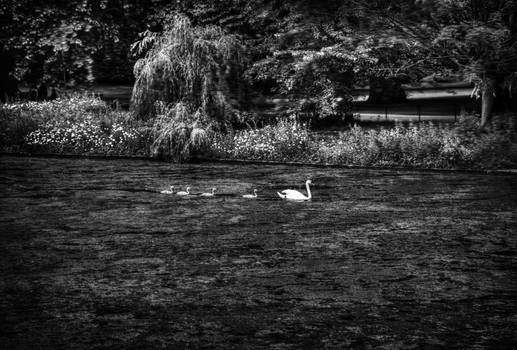 Swan and cygnets in black and white