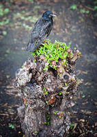 Starling on a stump