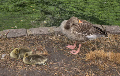 Goslings with mother goose