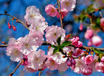 The Beauty of Cherry Blossom.....