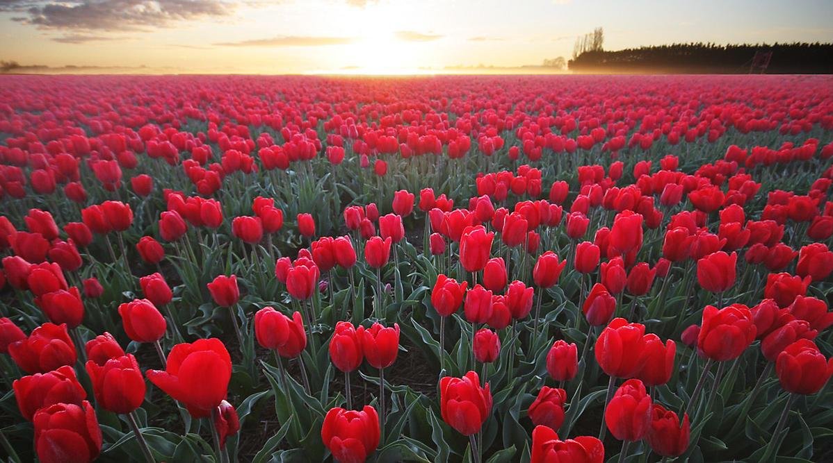 Tulpen uit Holland  IV by Betuwefotograaf