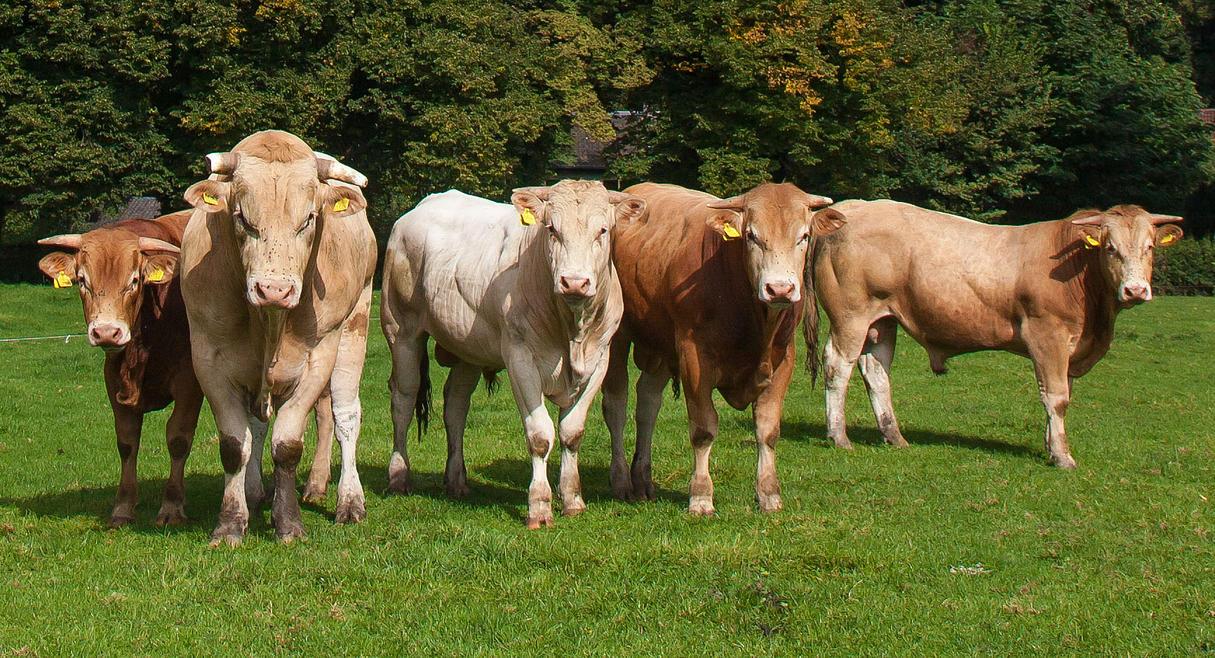 Бестужевская порода коров фото