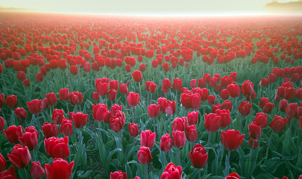 Tulips from Holland by Betuwefotograaf