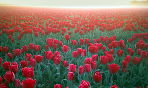 Tulips from Holland