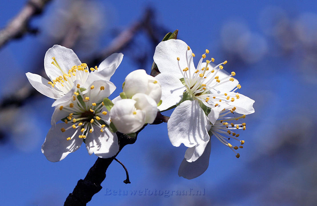 Prum blossoms in Holland by Betuwefotograaf