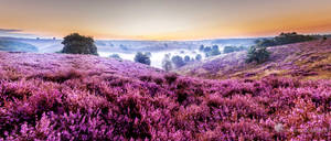 Sunrise over the blooming heitherfields in Holland