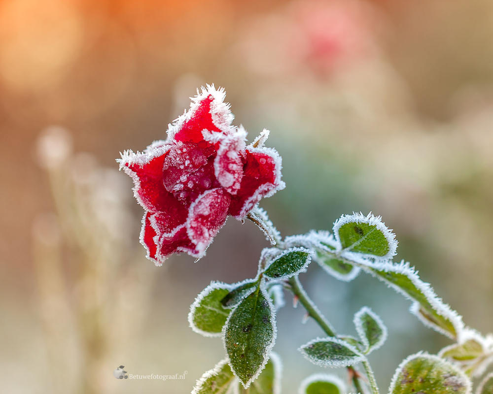Frozen Beauty.....I by Betuwefotograaf