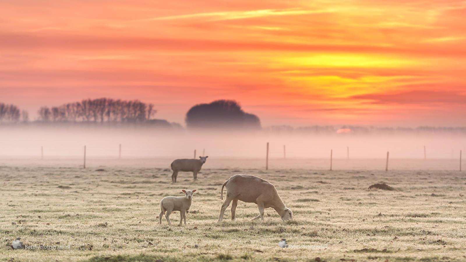 Sheep in the morning dawn............ by Betuwefotograaf