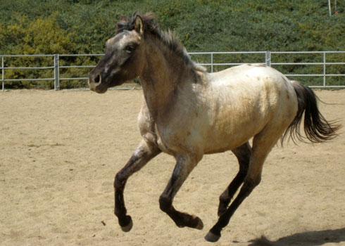 Purebred Spanish Horse by Abondened-Kagewolf